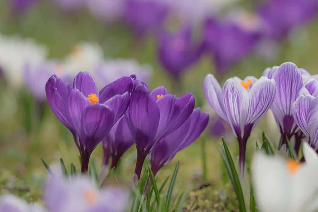 Crocus Blüten