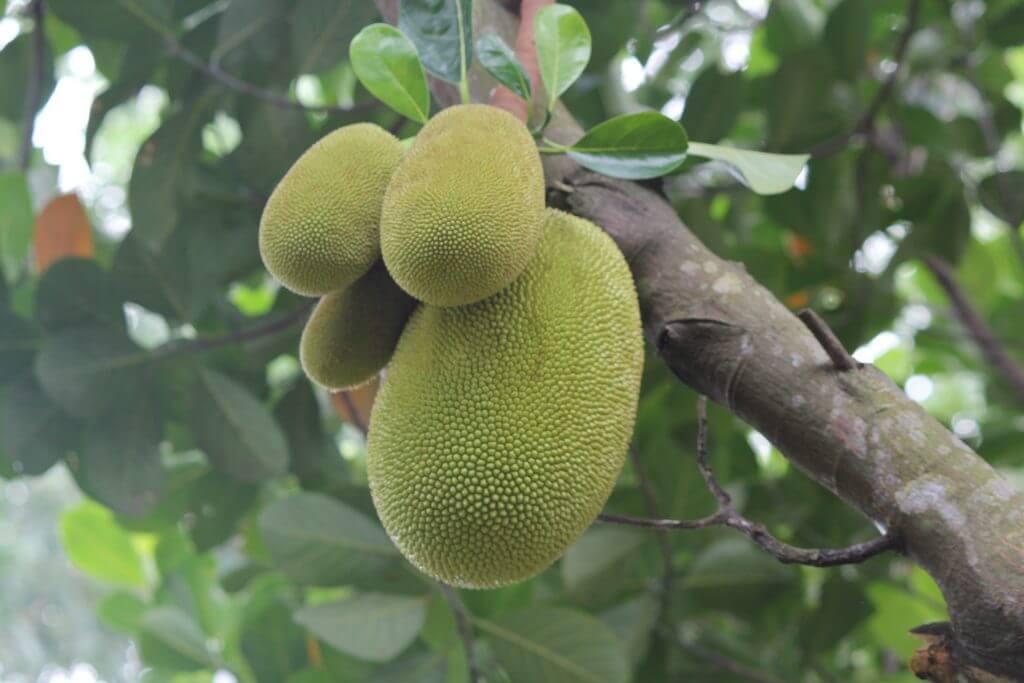 Jackfrüchte am Baum